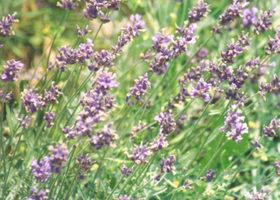 Ah_lavender__show