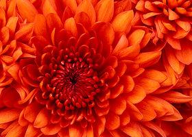 Chrysanthemum_show