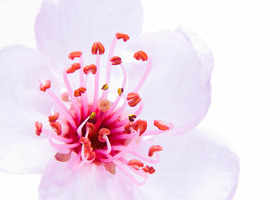 High-key-sakura-blossom-800_show