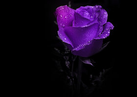 Purple_rose_show