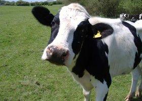 Cow2_show