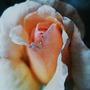 Rose1_large