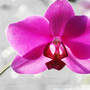 Orchid_large