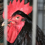 Rooster_stinkeye_large