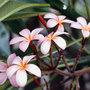 Frangipani_flowers_large