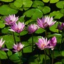 Water_lilies_large