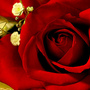 Rose_large