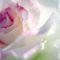 Rose_in_rain-2_thumb