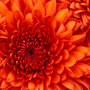 Chrysanthemum_large