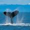 Humpback_whale_thumb