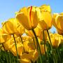 Tulips_large