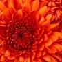 Chrysanthemum_large
