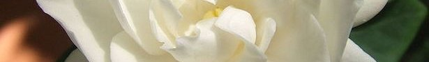 760px-white_gardenia_flower_show