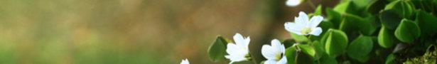 White_violets_show