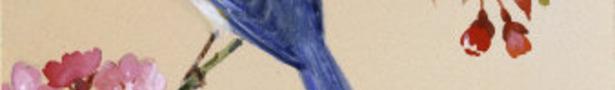 Blue-bird-on-cherry-blossom-branch_show