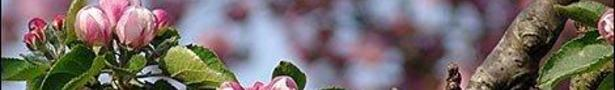 Bramley_apple_blossom_470x353_show