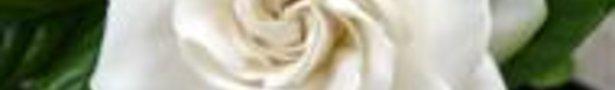 Gardenia-mystery-1s_show