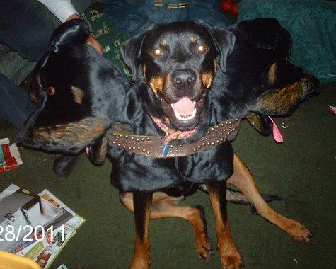 Roxy_three_headed_dog_2_large